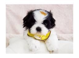 Título do anúncio: Baby shihtzu macho preto e branco, FOTO REAL DO FILHOTE!