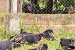 Últimos filhotes de Rottweiler: