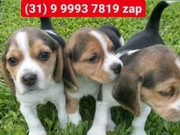 Lindos filhotes beagle. Pronta entrega