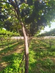 Título do anúncio: 30 caixas de uva vitória bem pretinha em Santa Maria da boa vista.