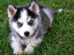 Husky siberiano filhotinhos a pronta entrega com garantias