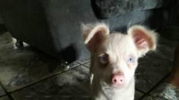 Vendo esse Pinscher albino 250,00