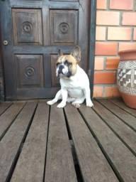 Bulldog francês lindo cruzar (levo no local)