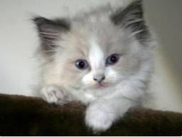 Gatinhos filhotes angora