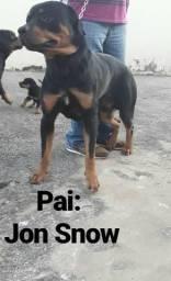 Cães Rottweiler