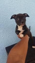 Vendo filhote de pitbull black