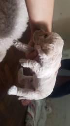 Poodles M