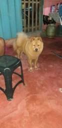 ChowChow femea 10 meses