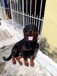 Rottweiler disponível para cobertura pedigree cbkc
