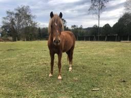 Cavalo pitiço 5 anos capado