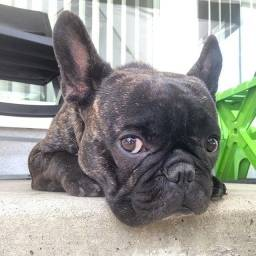 A procura de uma Namorada Bulldog Francês