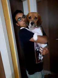 Doação responsável beagle