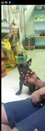Vendo filhote de bulldog francês com 6 meses