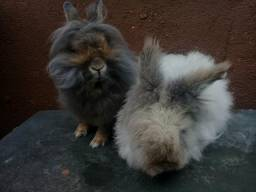 Casal de coelho