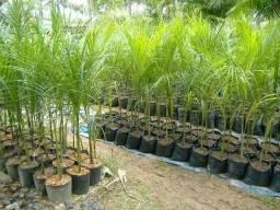 Mudas de palmeira 10 reais cada