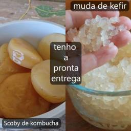 Kefir de água e Kombucha