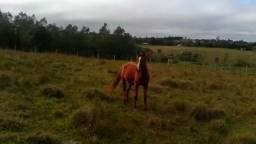 Cavalo arabe chucro