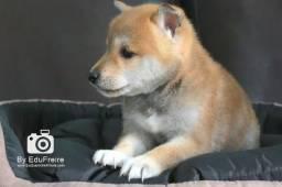 Shiba Inu, lindos filhotes a pronta entrega, raça pura e procedência. Temos outras raças.