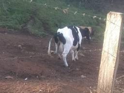IMPERDÍVEL! Vendo vaca holandesa
