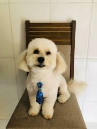 Poodle procura namorada
