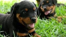 Título do anúncio: Filhotes de Rottweiler, cabeça de touro, temos machinhos e femeas