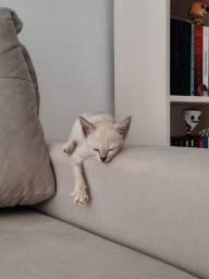 Gatinha filhote para adoção (gato para adoção- fêmea)