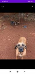 Cachorra Fila brasileira 1 ano e 5 meses