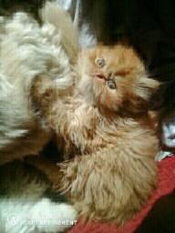 Promoção gatinho persa ou troco por fêmea persa