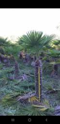 Palmeiras Trachycarpus fortunei