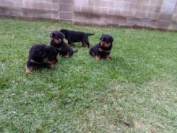 Porto Seguro- Filhotes de Rottweiler (Canil Canaã)