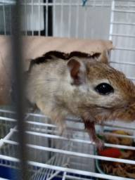 Ratos gerbyl esquilo mangolia