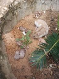 Hamsters ANÃO RUSSO ( filhotes )