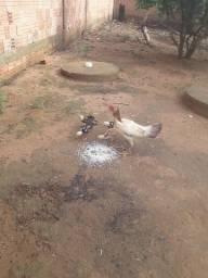 Título do anúncio: Galinha e frangos índio...