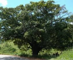 Árvore figueira