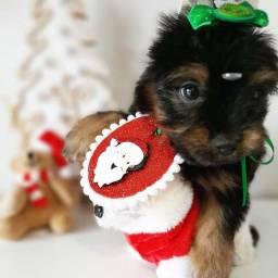O presente encanta!!!! Yorkshire mini