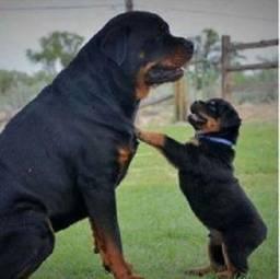Rottweiler - filhotes a pronta entrega vacinados e vermifugados!