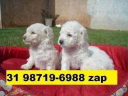 Lindos Filhotes Cães BH Poodle Yorkshire Bulldog Pug Beagle Shihtzu Maltês Lulu