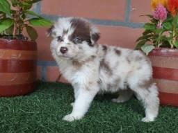 Border Collie blue merle/red merle/preto e branco/chocolate, temos 7 clinicas veterinárias