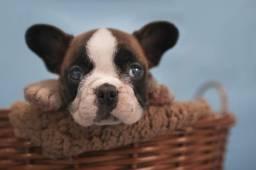 Lindos Bulldog Frances, venha conferir e escolher o seu!
