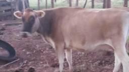 Vaca gersei