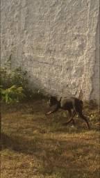 Cachorro Rotiwaler 6 meses linda fêmea