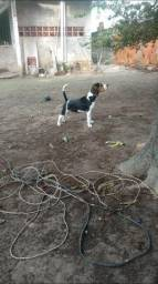Beagle americano