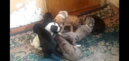 Filhote Dog Alemão 45 dias de nascimento