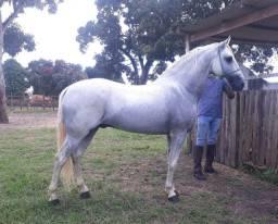 Cavalo mangalarga macha picada genuína registrado