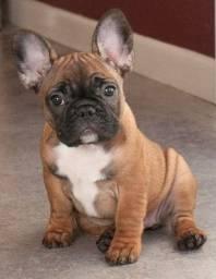 Bulldog Frances com garantia de vida e pureza!