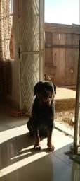 Rottweiler p/cruza