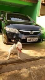 Bull terrier mini para cobertura