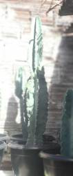 Cactos mandacaru e coroa de frade
