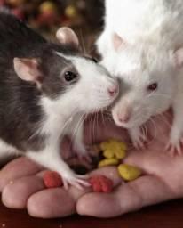 Ratinhos twister filhotes