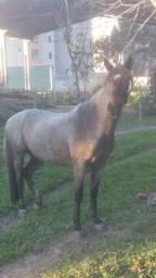 Cavalo criolo puro